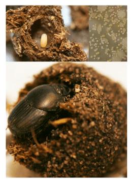 Dung beetle brood ball with egg