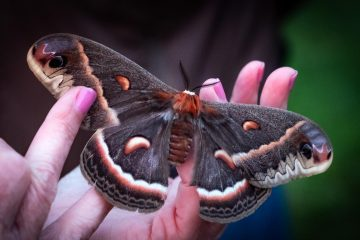 Luna moth by Ellen Harasimowocz